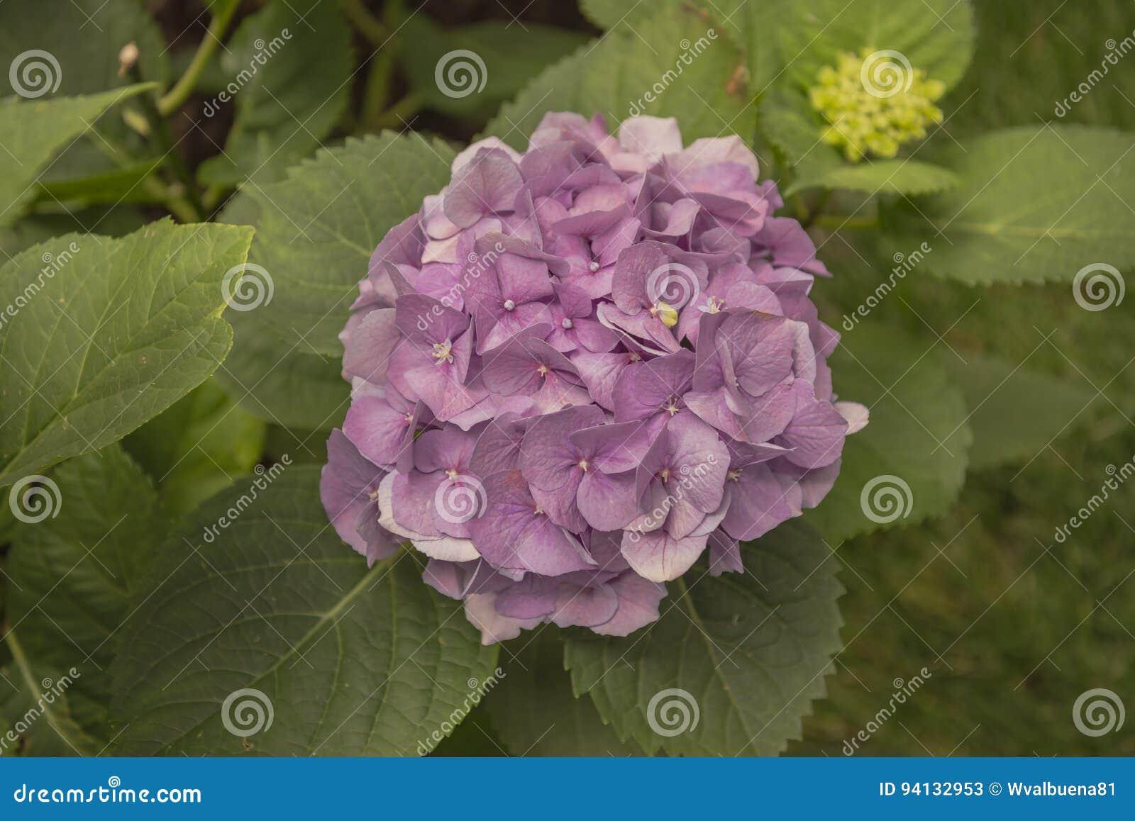 Colore della viola del fiore dell ortensia