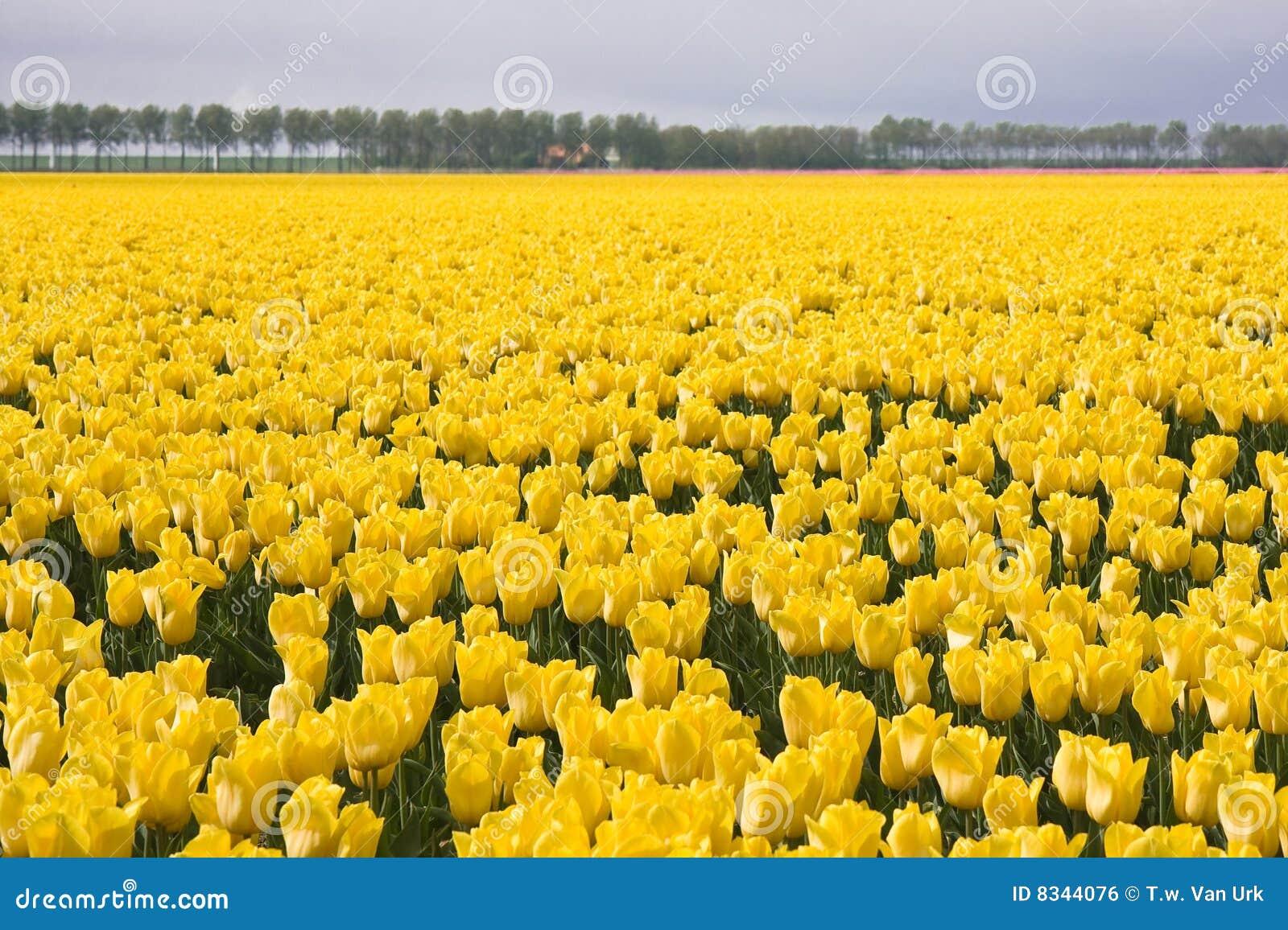 Colore giallo dei tulipani del campo fotografia stock for Oggetti di colore giallo