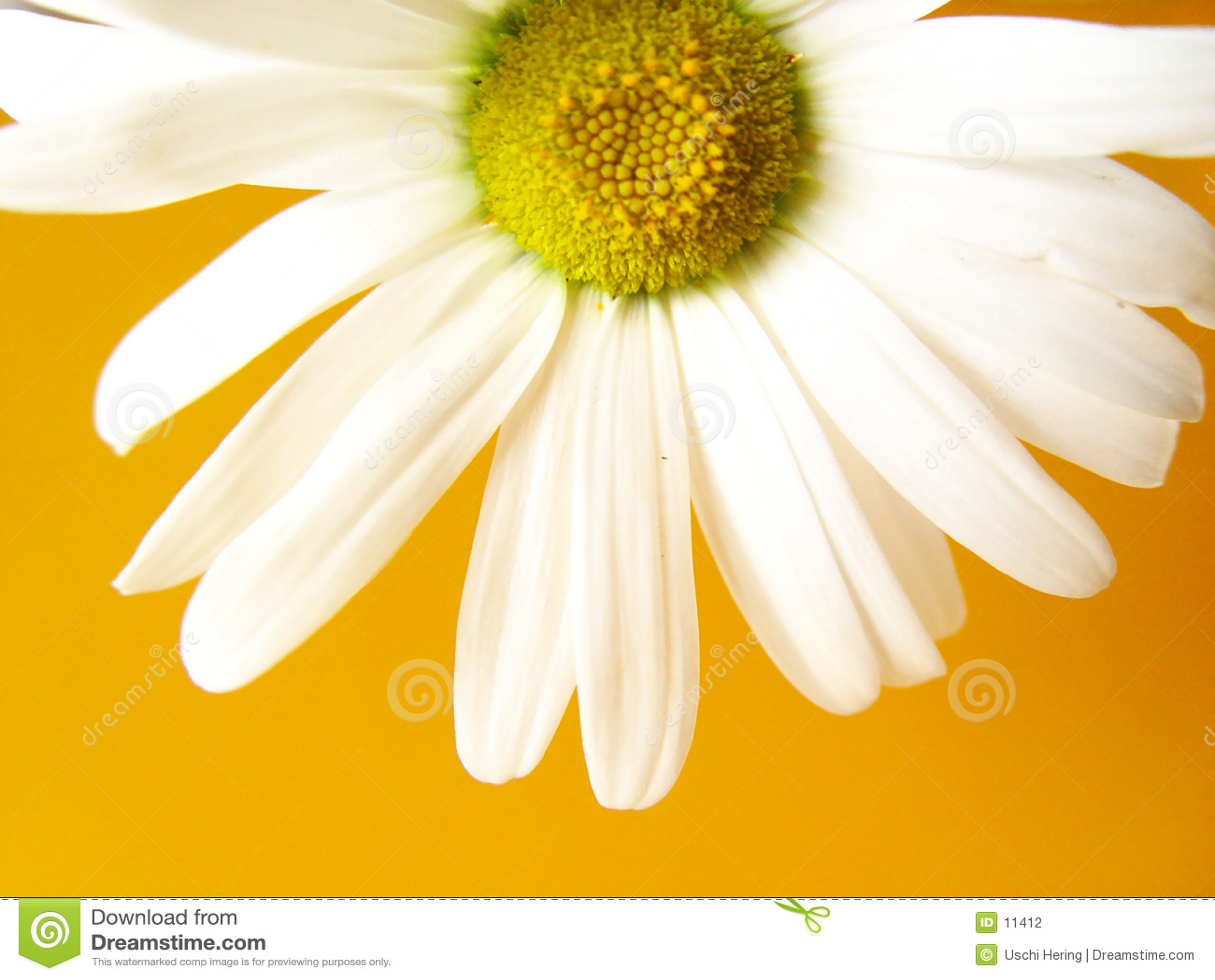 Colore giallo della margherita di estate