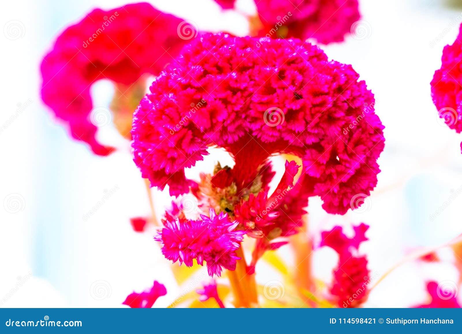 Colore pastello del fiore della cresta di gallo al modello ed alla struttura creativi