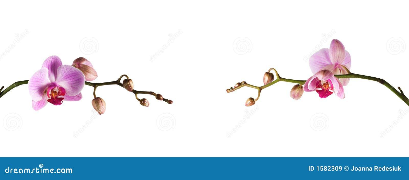 Colore rosa dell orchidea - lungamente