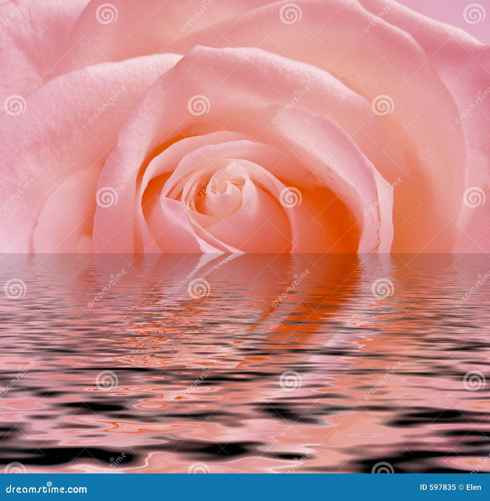 Colore rosa di rosa, riflessione in acqua