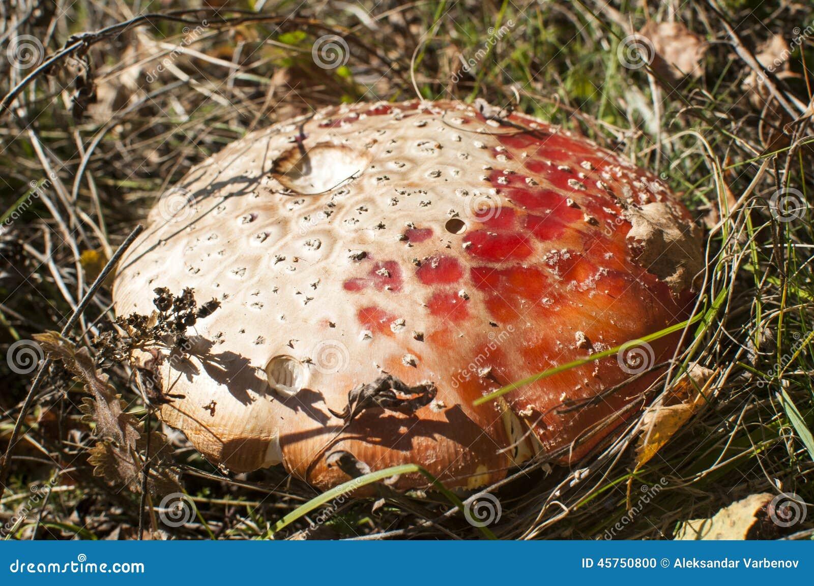 Colore rosso del fungo della mosca dell agarico