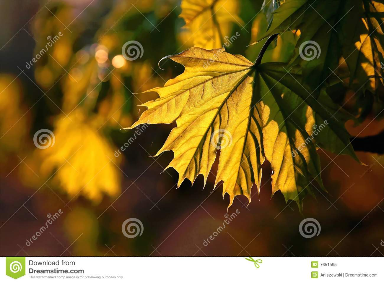 colored autumn maple leaf at sunset