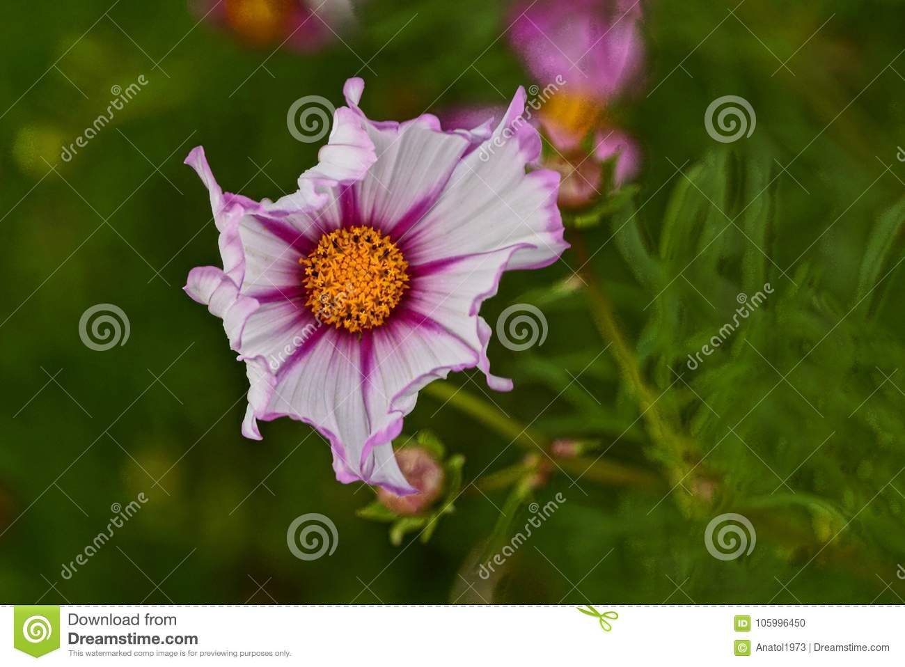 Colored Bud Of A Beautiful Flower In Green Plants Stock Photo