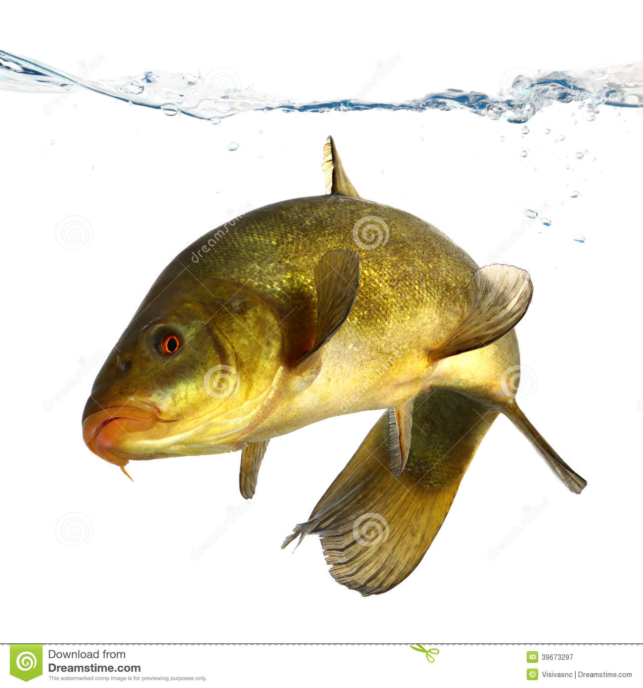 Tench fish royalty free stock photo for Dream of fish swimming