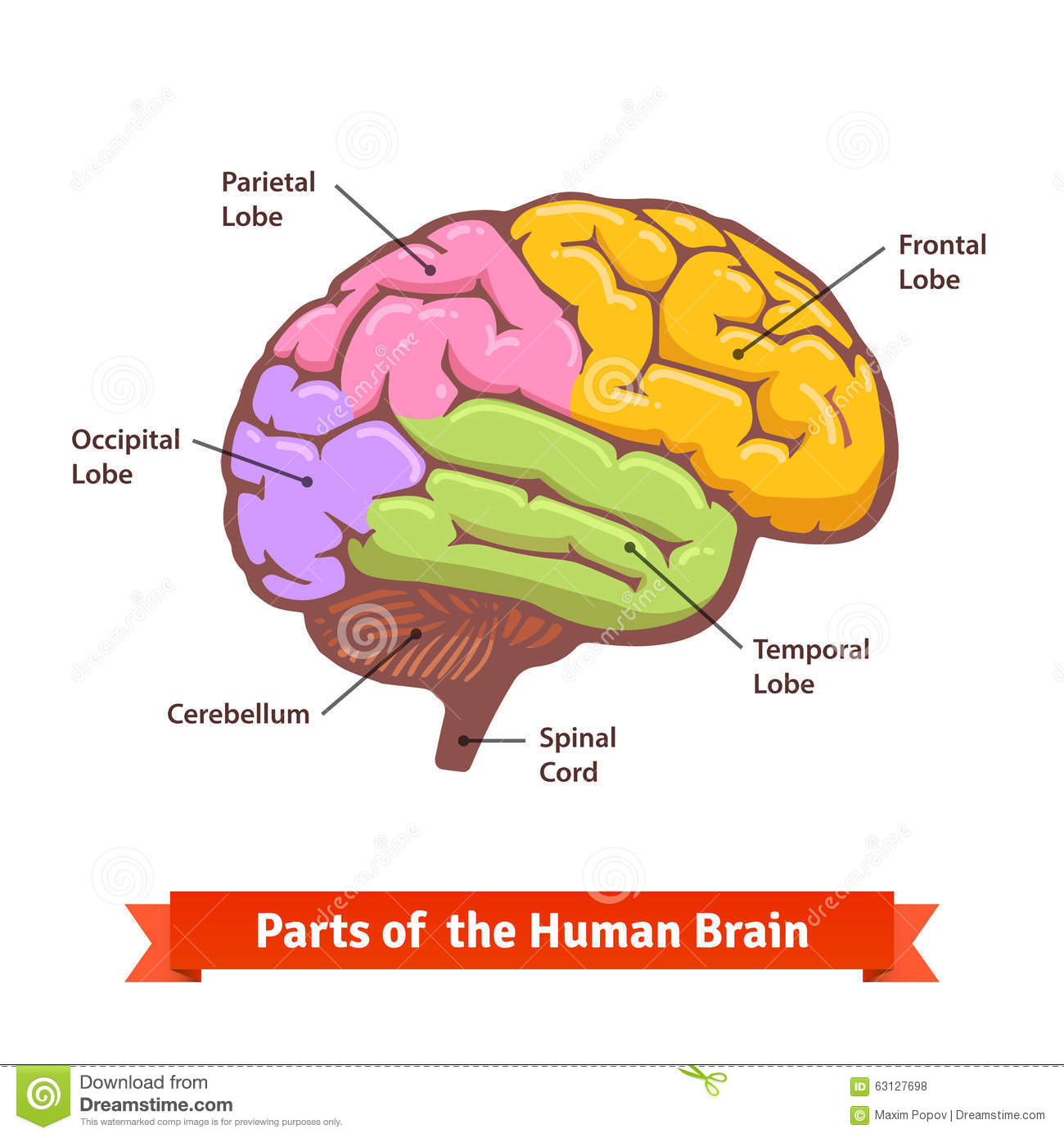 Colored And Labeled Human Brain Diagram Stock Vector - Illustration ...