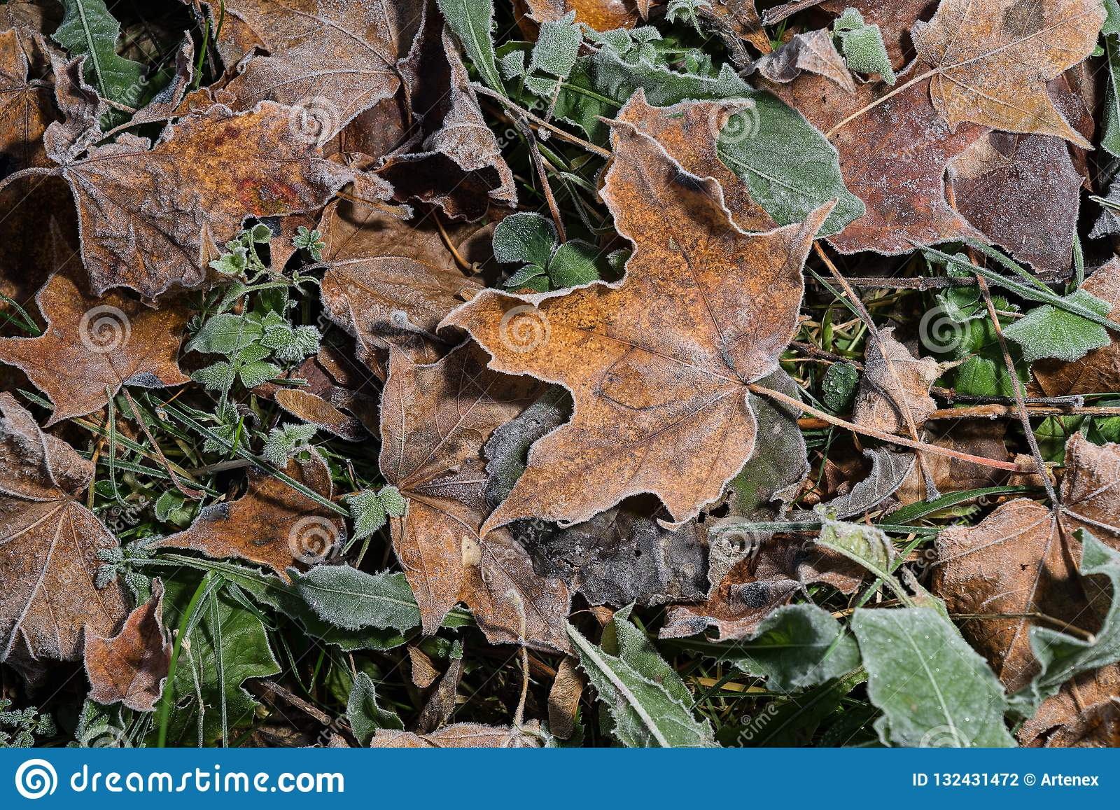 Colored maple leaves. Frosty brown autumn leaves. Natural environment background