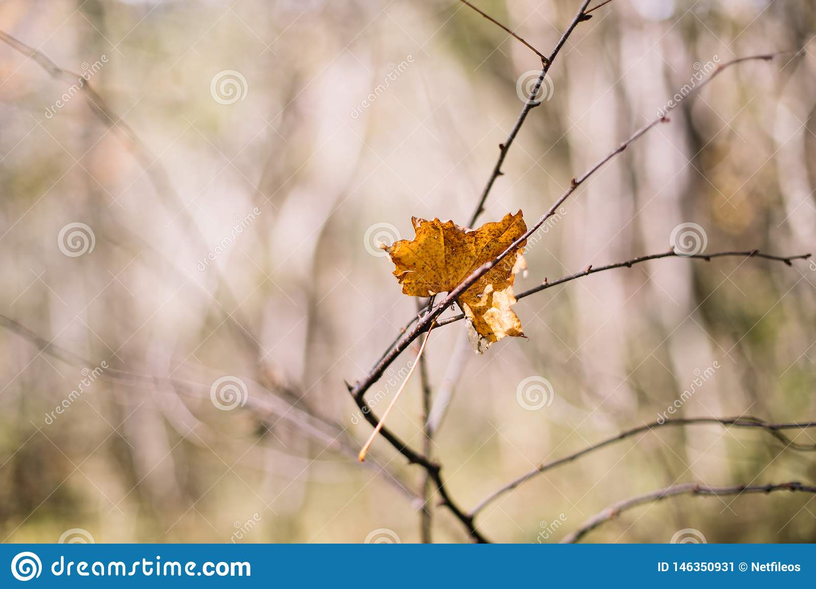 Colored maple leaves. Yellow rotten maple leaf in autumn