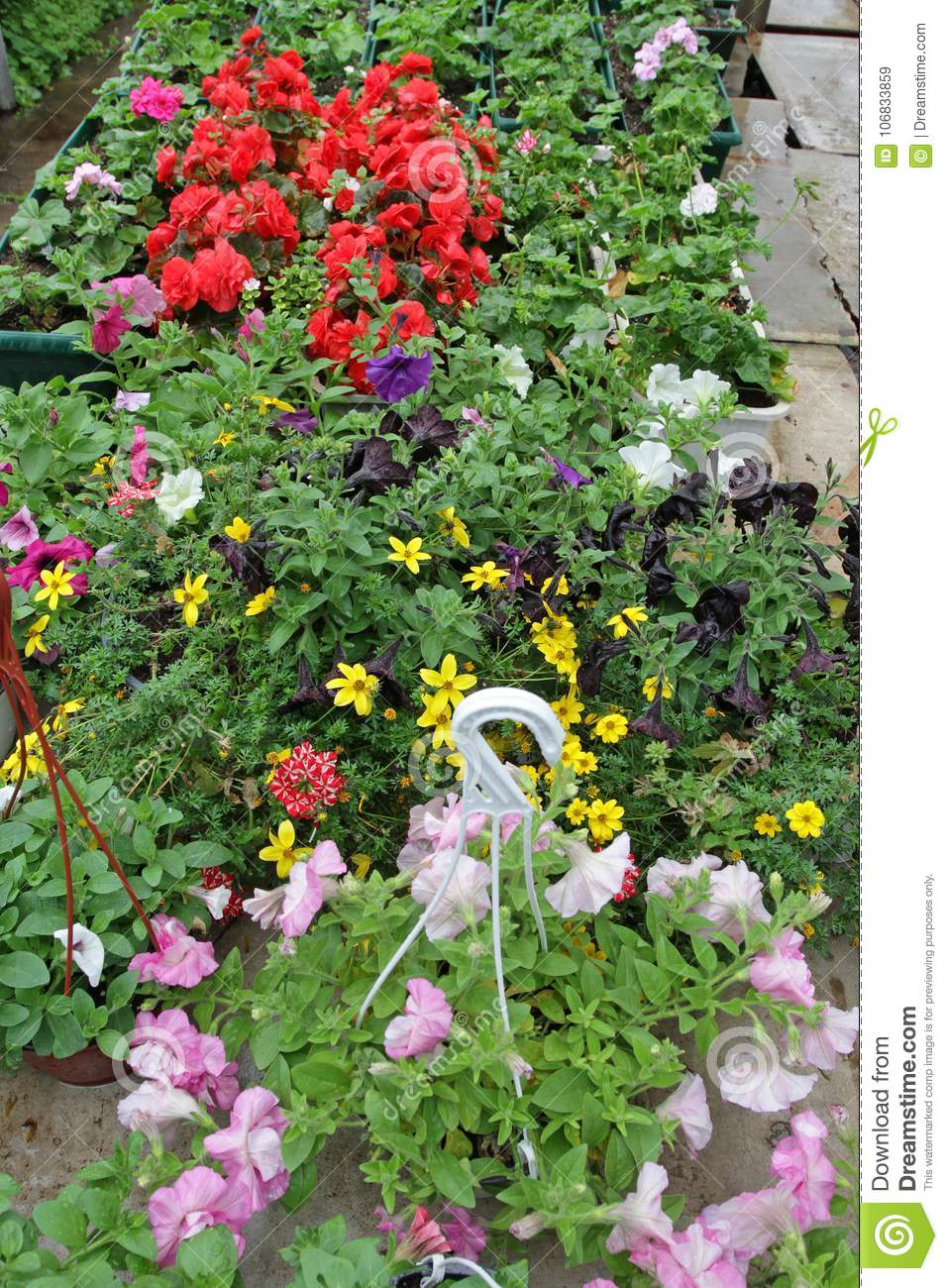 Colored Petunia Field With Hanging Pots. Stimoryne. Field Of Purple ...