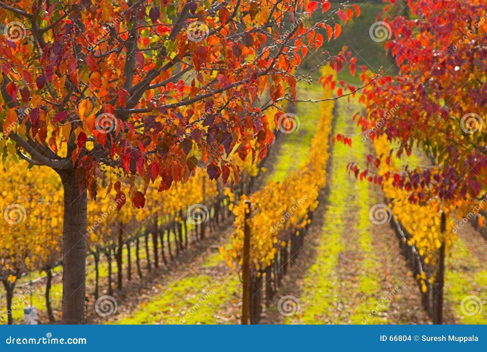Colores de la caída en campo de la uva