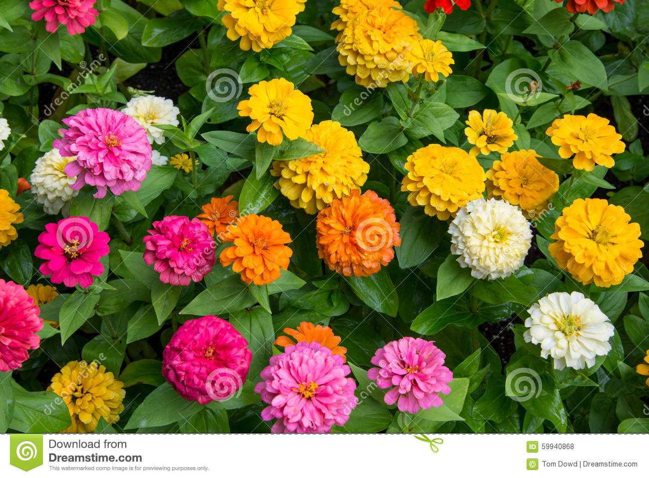 Colorful allium chrysanthemum dahlia stock photo image of blossoms pink orange yellow and white allium chrysanthemum dahlia flowers in bloom mightylinksfo
