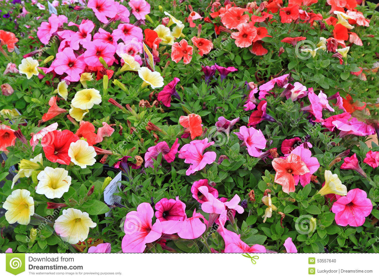 Colorful annuals flowers stock photo image of yellow 53557640 colorful annuals flowers izmirmasajfo