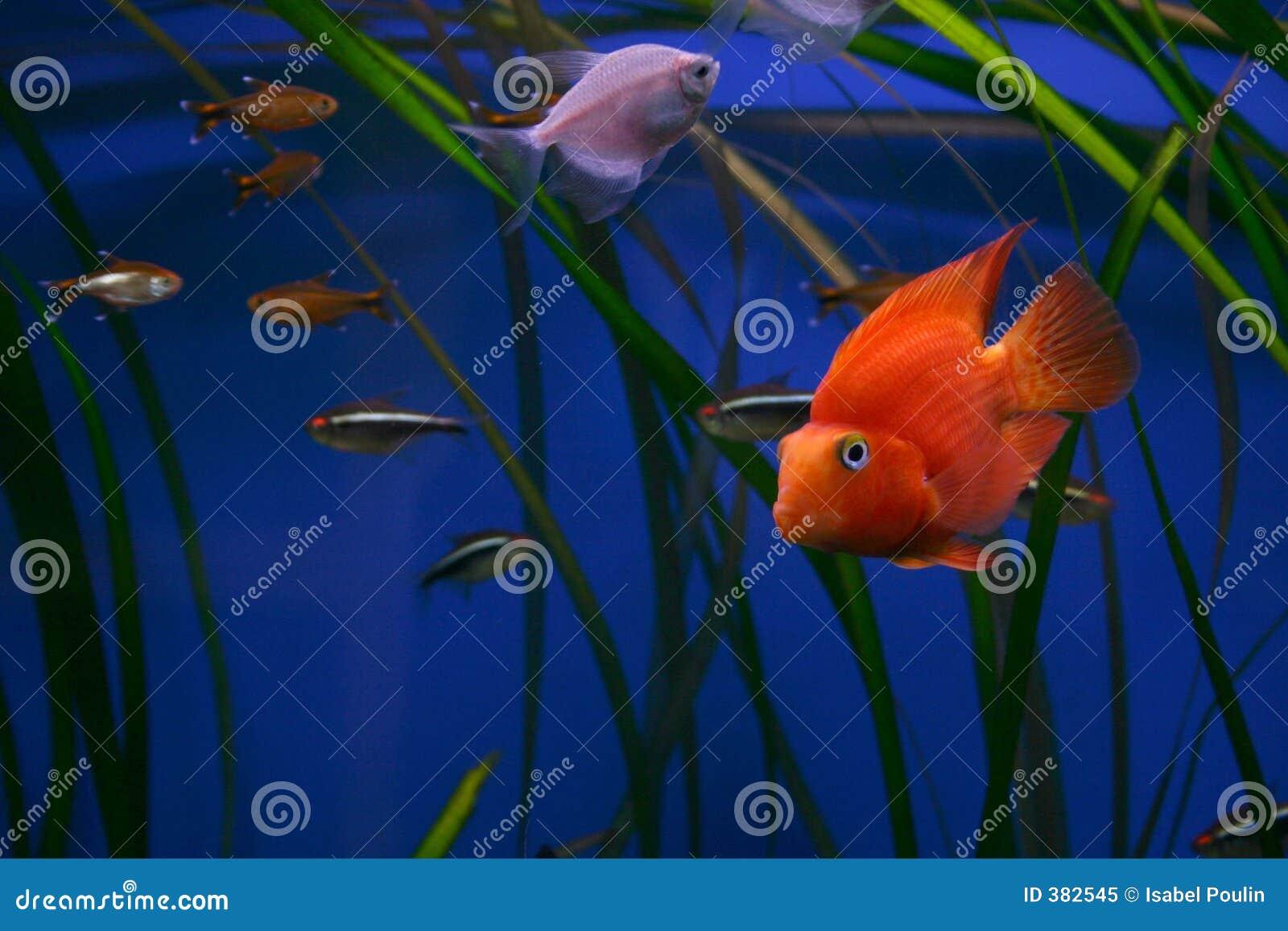 Colorful Aquarium Fish Royalty Free Stock Photo Image