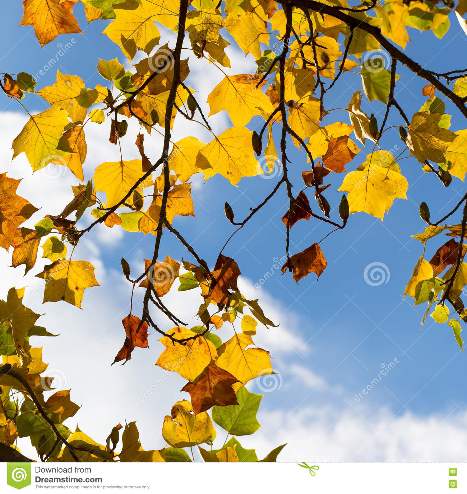 American Yellow Poplar Wood Shutters: Colorful Autumn Leaves On American Tulip Poplar Tree