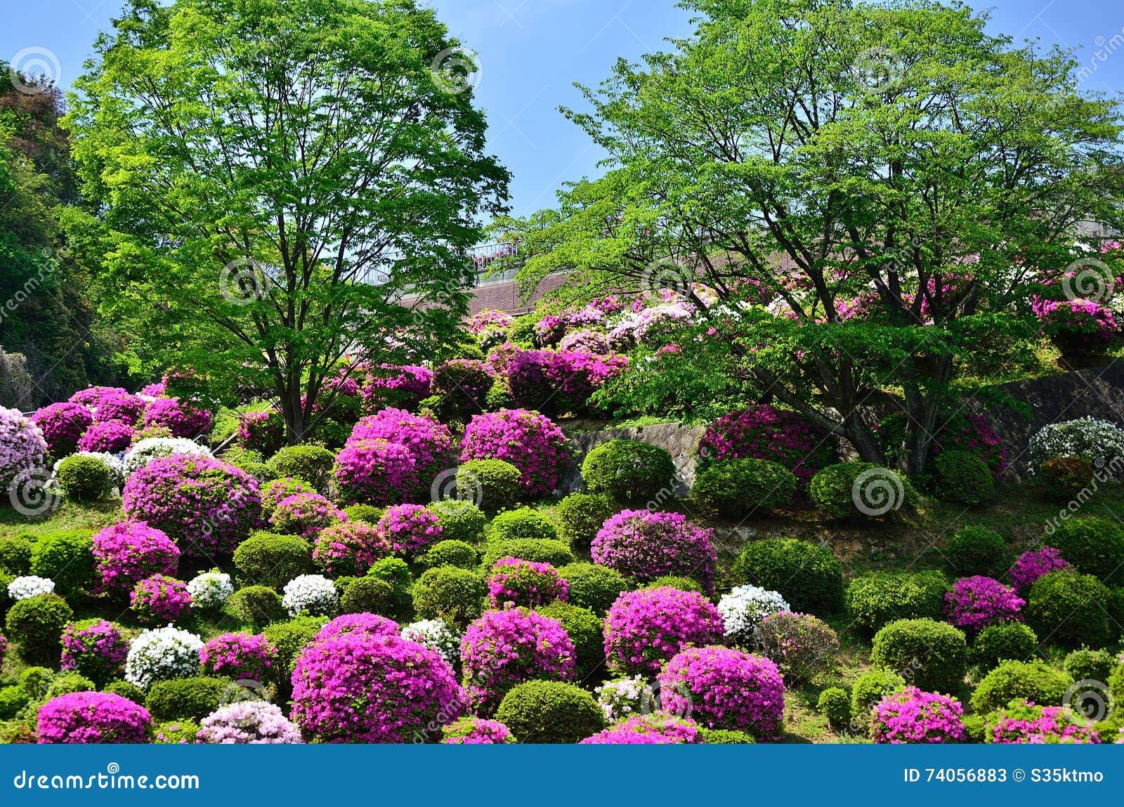Japan Garden Flowers: Colorful Azalea Garden, Kyoto Japan Spring. Stock Image