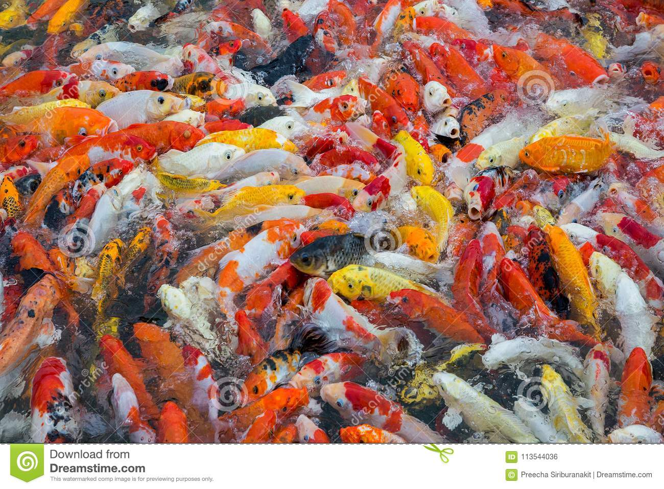 Colorful Of Beautiful Koi Fish. Stock Photo - Image of pond, swim ...