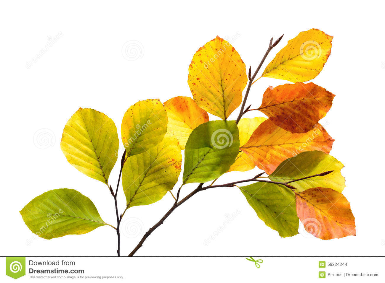 Download Colorful Beech Tree Leaves Isolated On White Stock Photo - Image of chlorophyll, green: 59224244