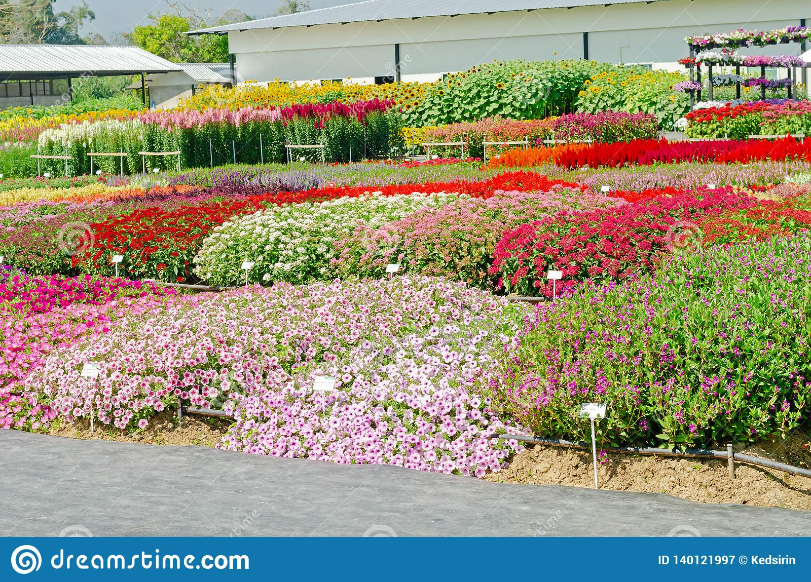 Colorful Blooming Flower Bed Stock Image Image Of Beautiful
