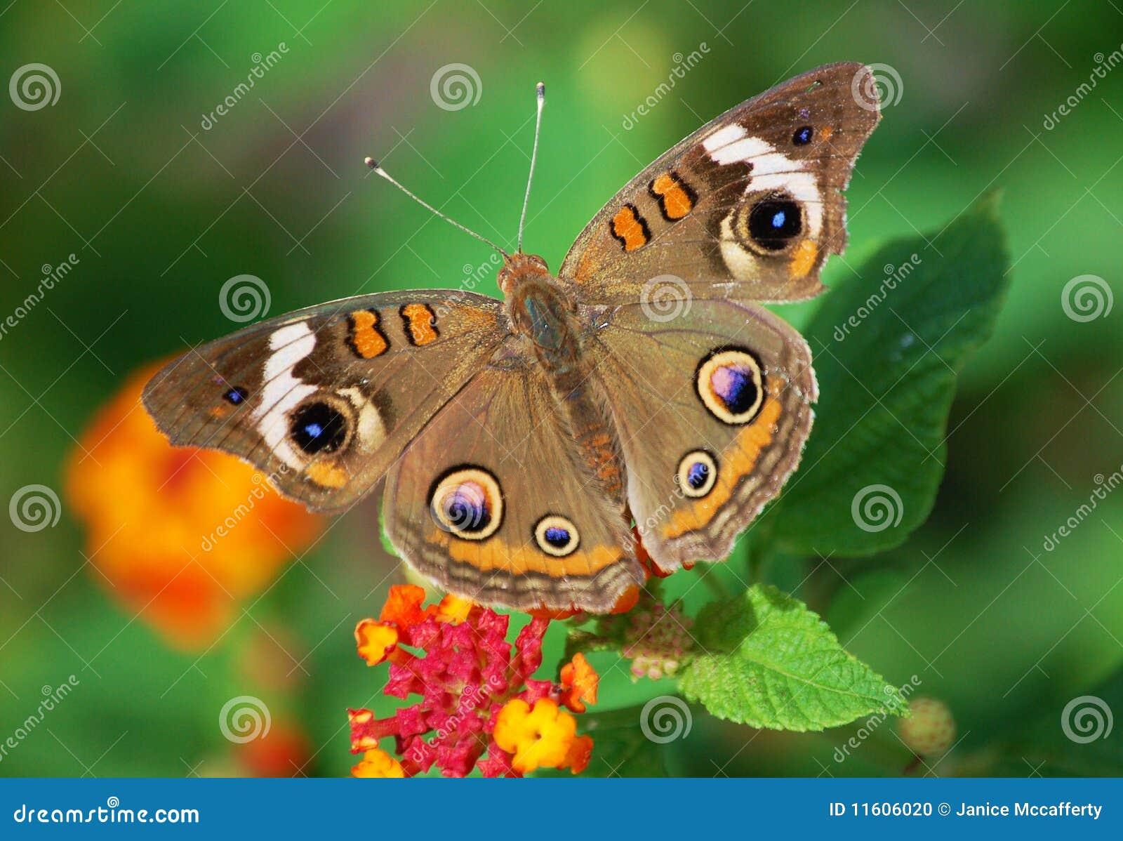 Colorful Buckeye Butterfly
