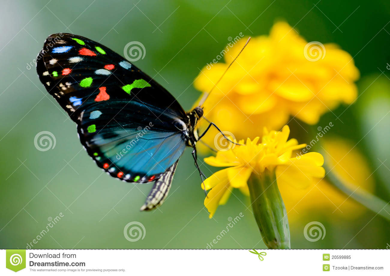 Colorful Butterfly Royalty Free Stock Photo - Image: 20599885