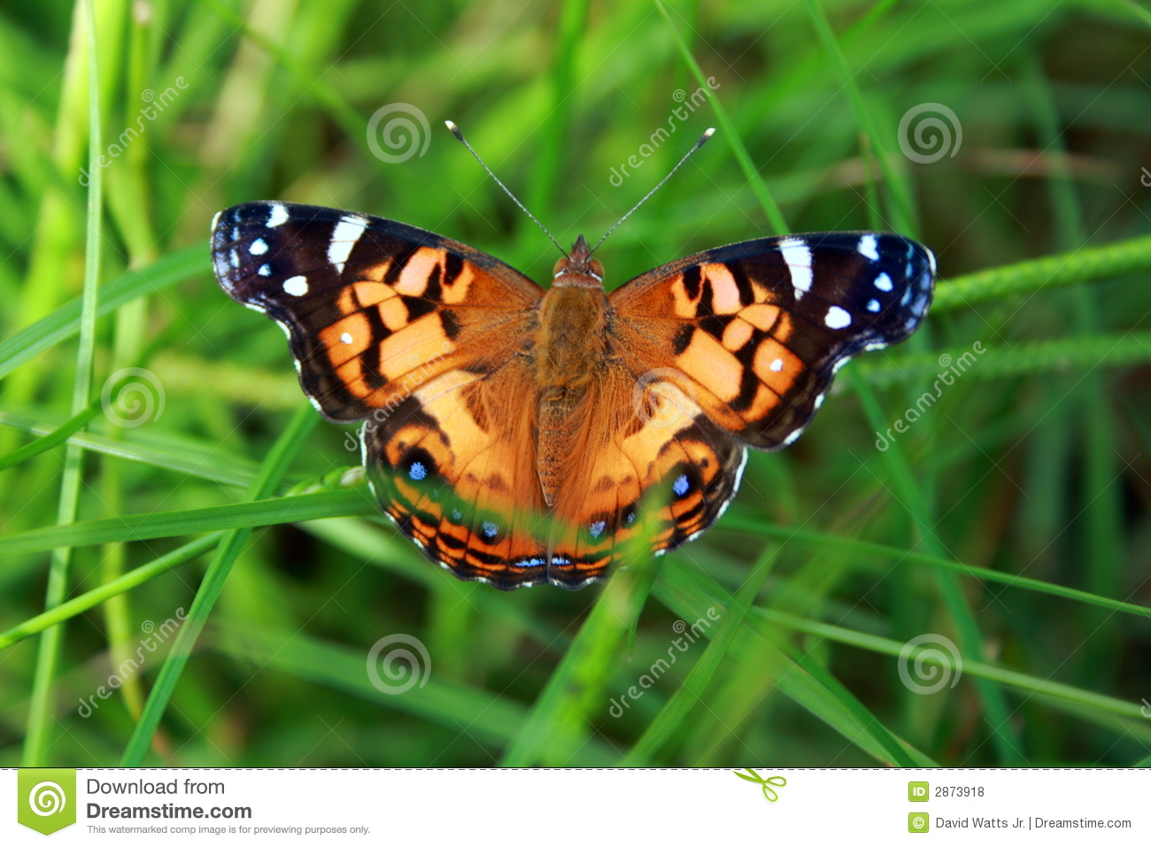Colorful Butterfly in Grass