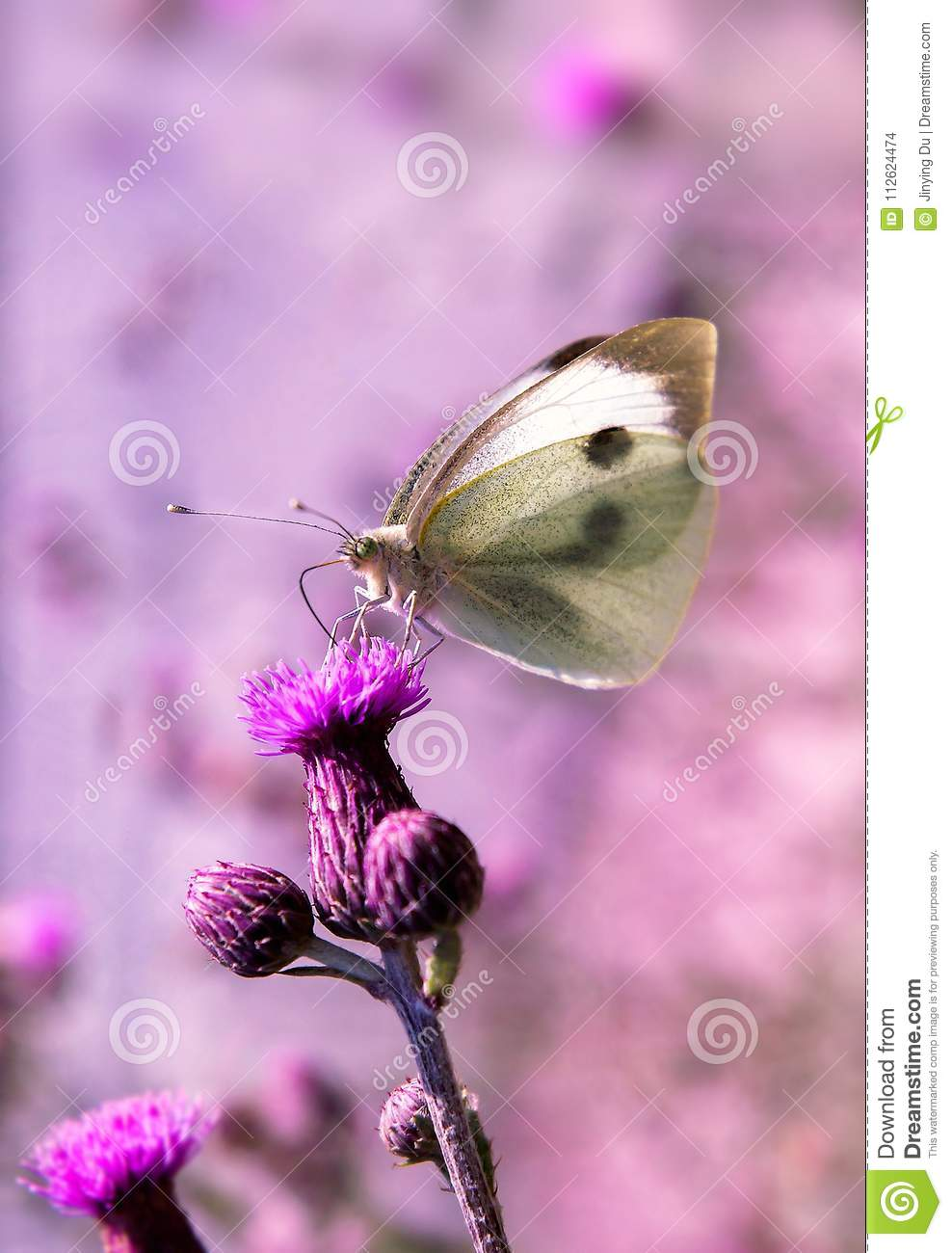 A colorful butterfly is standing on a piece of lavender.