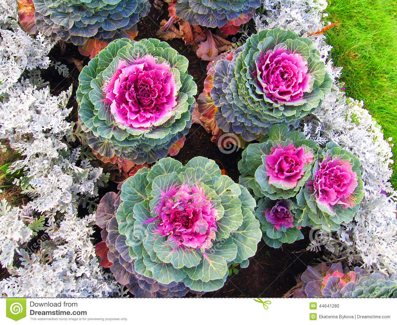 Colorful cabbage flowers of different sizes stock photo for Different garden plants