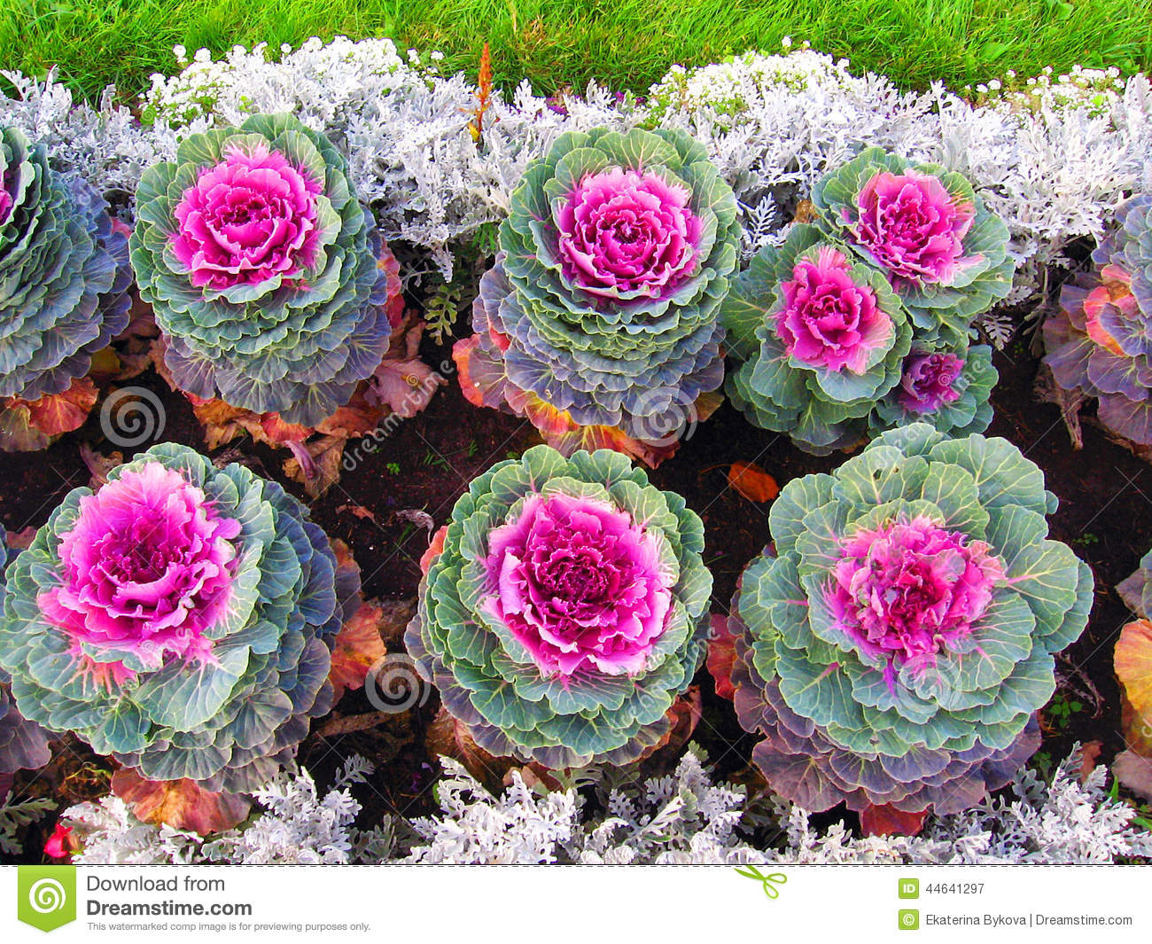 Colorful Cabbage Flowers Of Different Sizes Grow In Rows ...