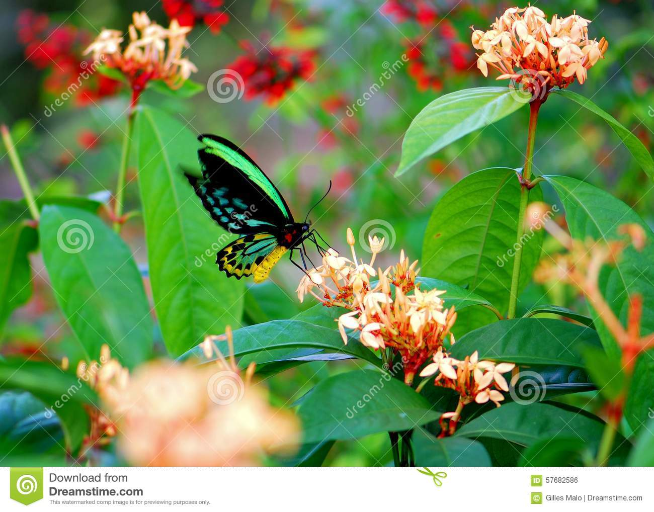 Colorful Cairns Birdwing Butterfly Feeding In Flowers Stock Photo ...