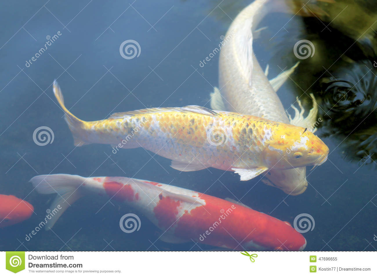 Colorful carp stock photo image 47696655 for Colorful pond fish
