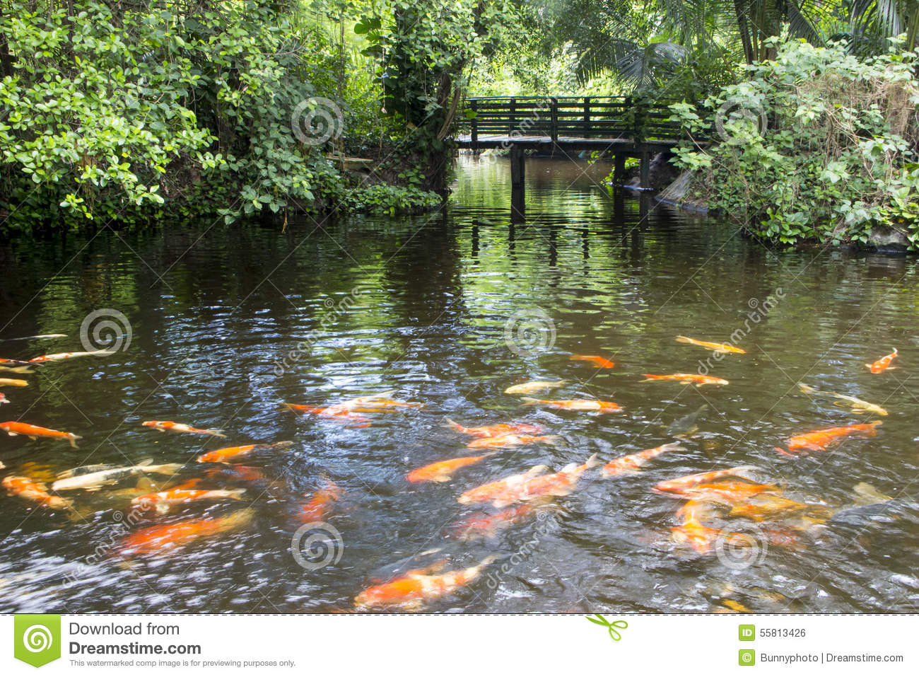 Colorful carp fish in the pond with wooden bridge stock for Colorful pond fish