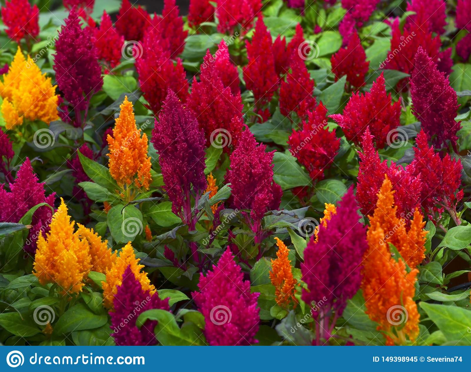 Colorful Celosia Argentea Flowers In The Garden Of Tenerife Canary Islands Spain Blooming Cockscomb Plants Stock Image Image Of Fresh Cockscomb 149398945