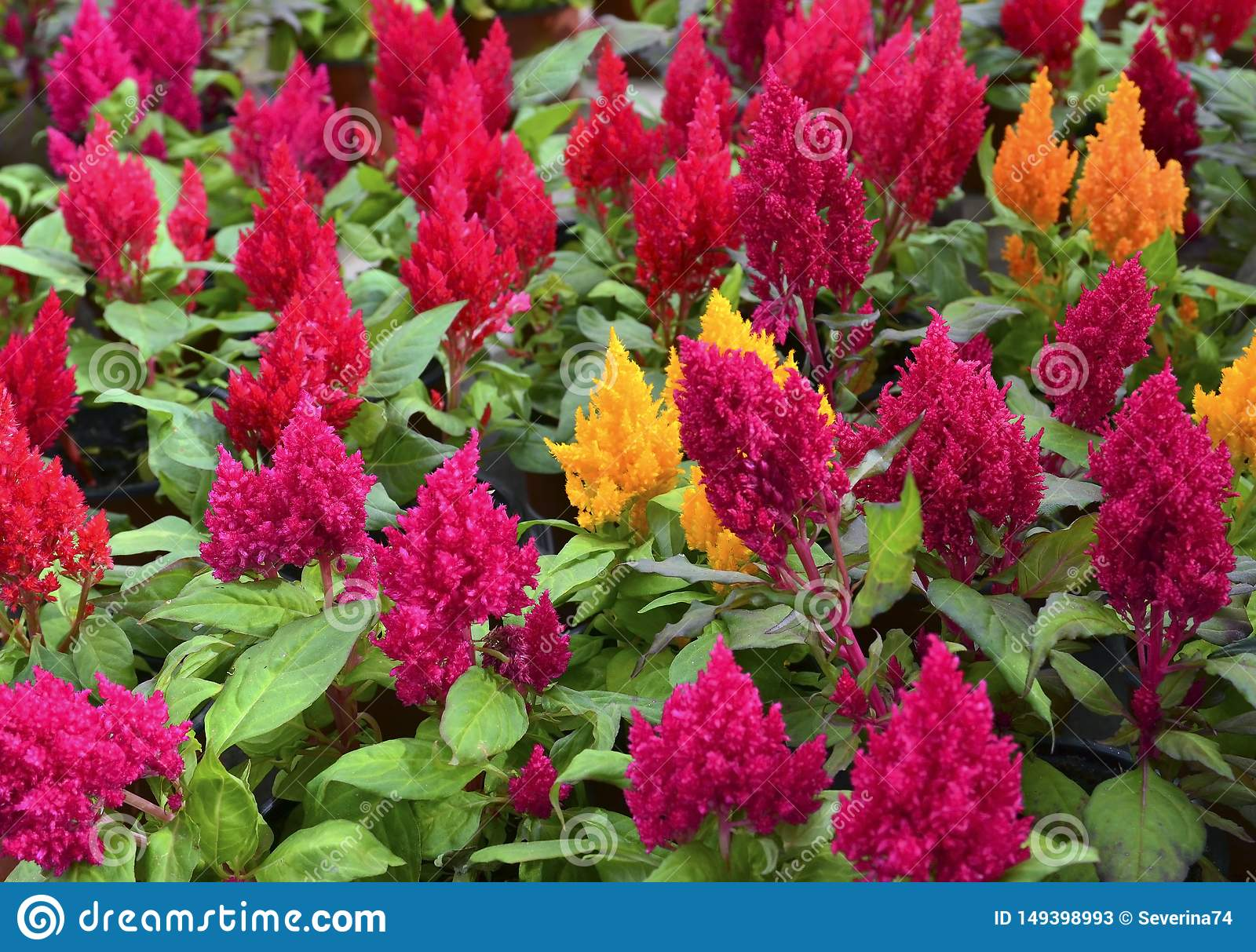 Colorful Celosia Argentea Flowers In The Garden Of Tenerife Canary Islands Spain Blooming Cockscomb Plants Stock Image Image Of Celosia Green 149398993