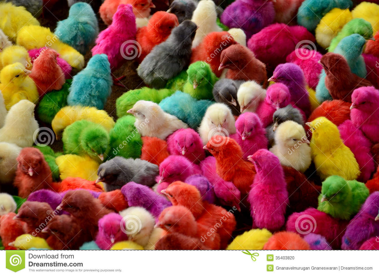 Colorful Chicks Stock Photo Image 35403820