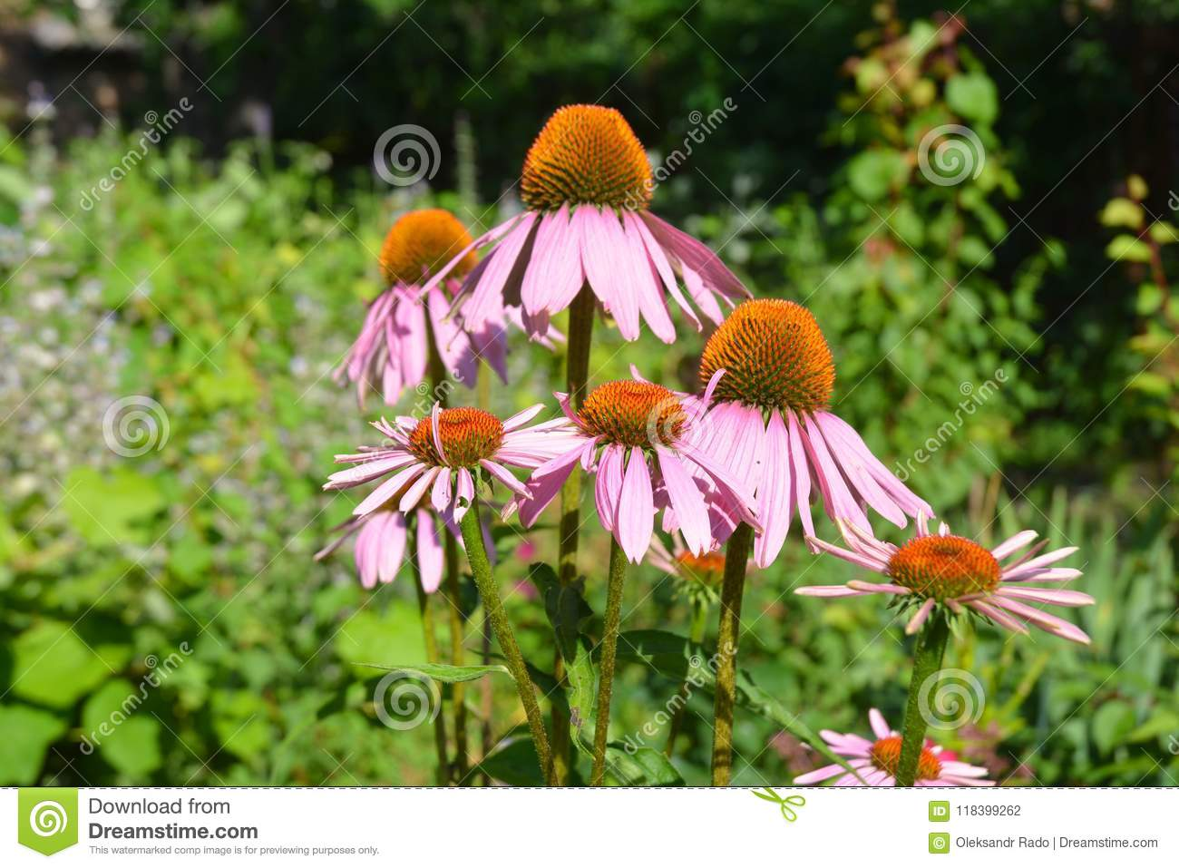 Colorful coneflower or purple echinacea on summer bee-friendly f