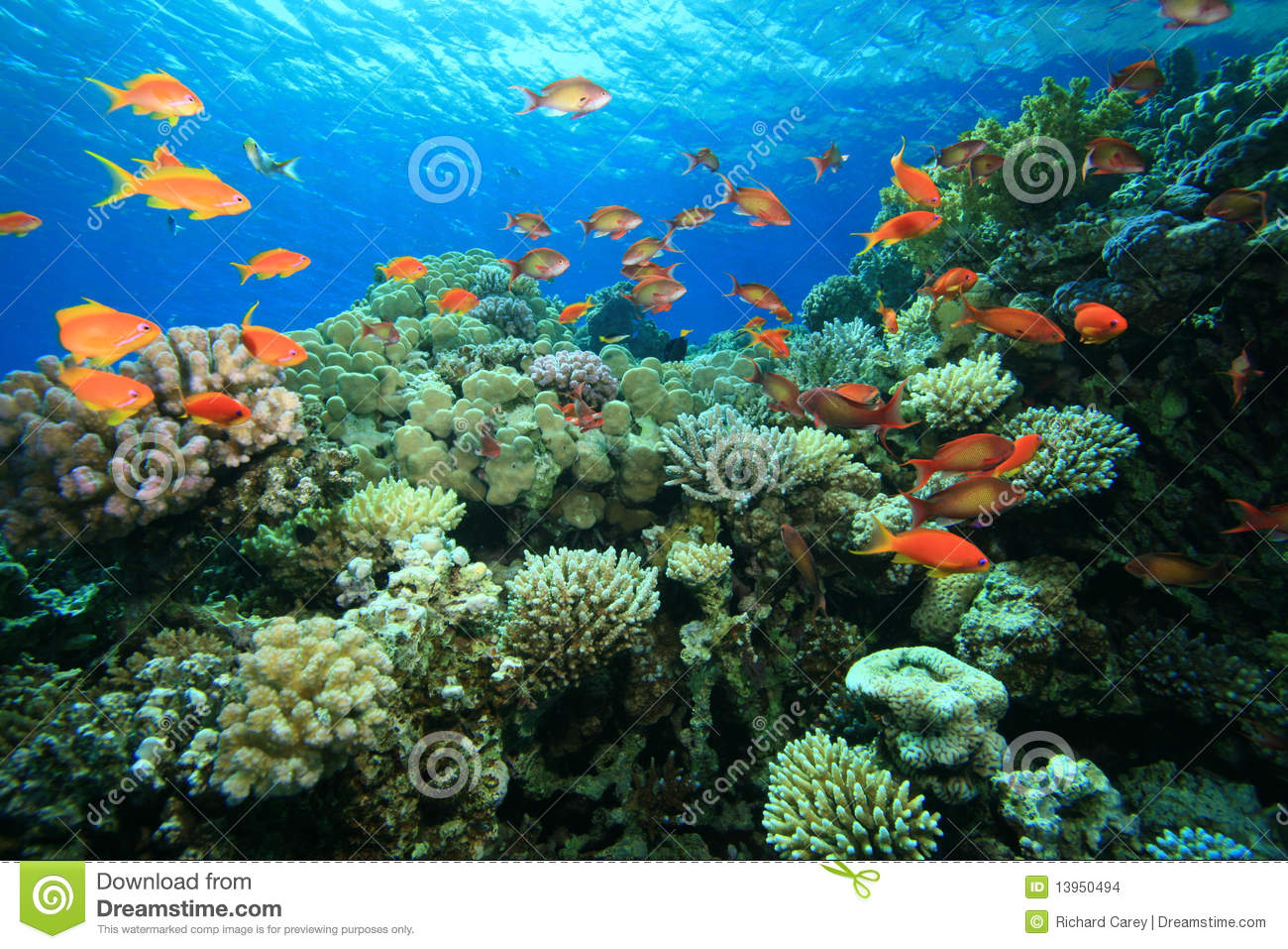 beautiful colorful coral reefs - photo #16