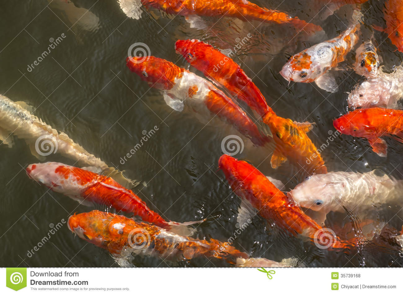 colorful coy fish swimming in a pond royalty free stock
