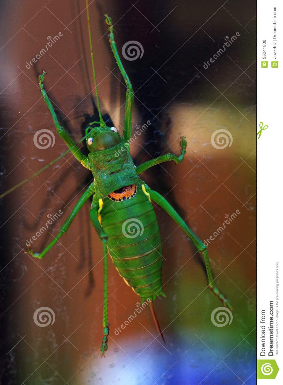 Colorful cricket