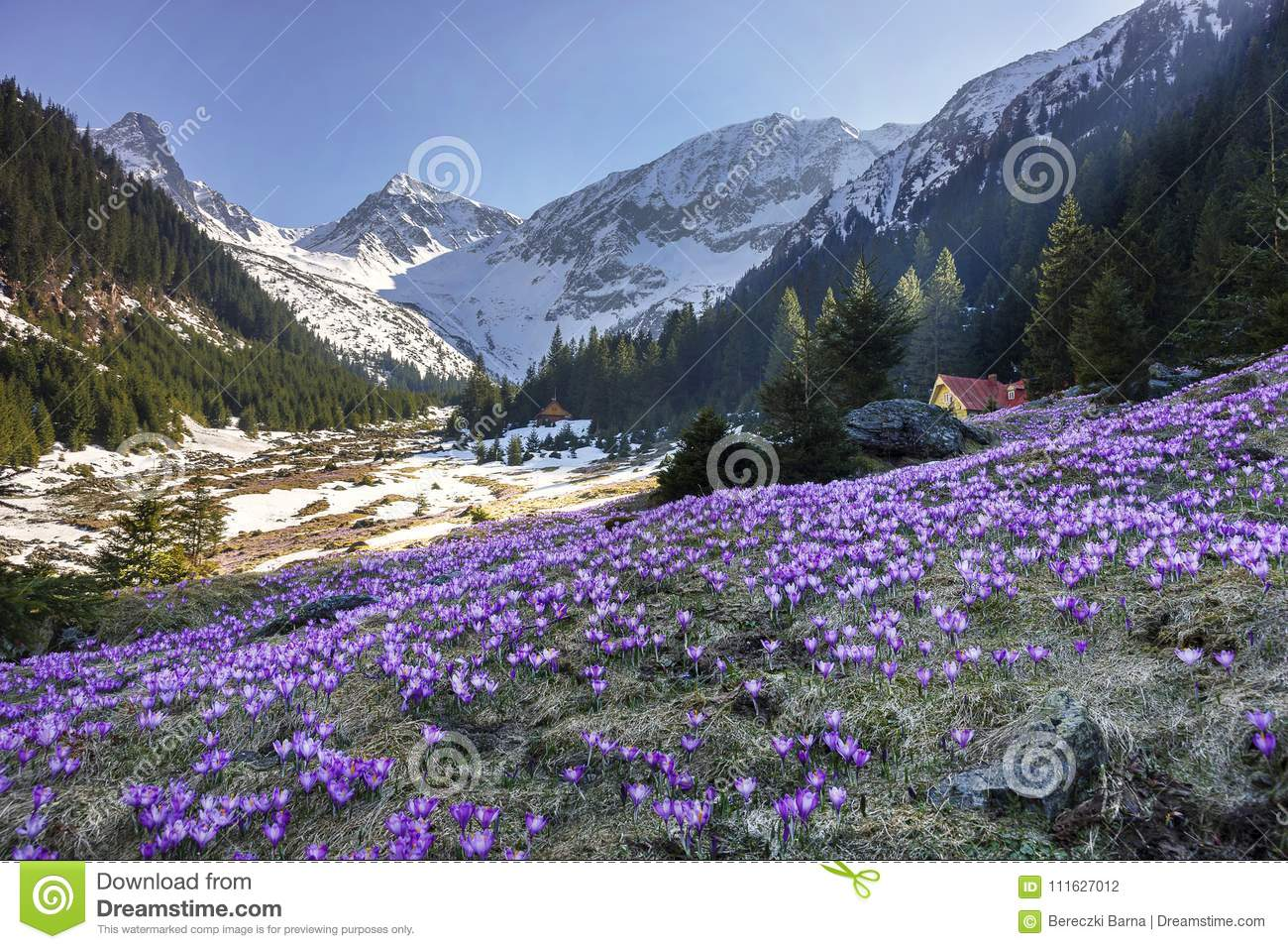 Colorful Crocus Flowers And Spring Landscape In The Carpathian