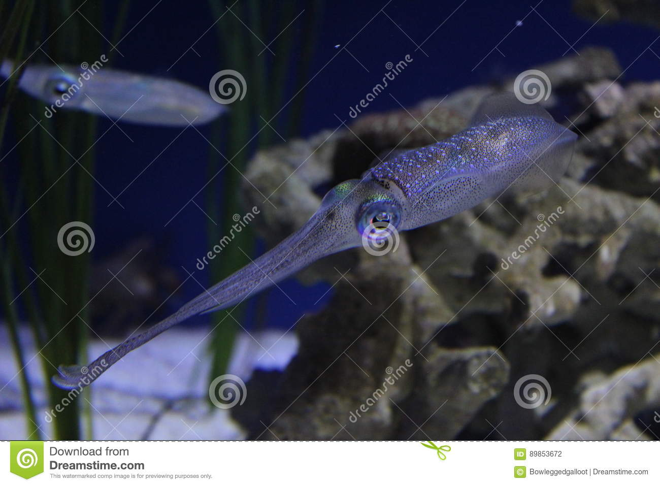 Colorful Cuttlefish