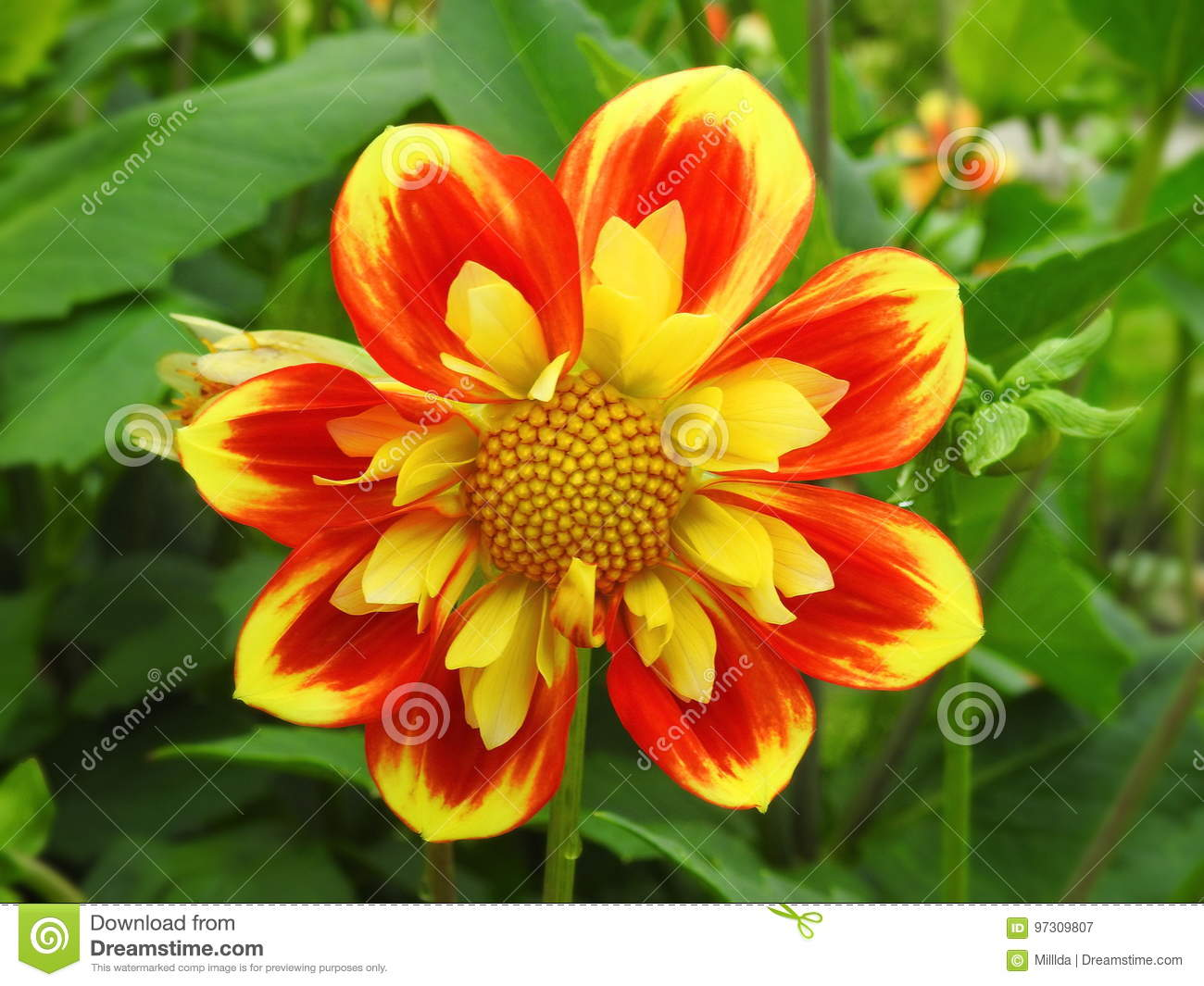 Colorful Dahlia Flower Stock Image Image Of Lithuania 97309807