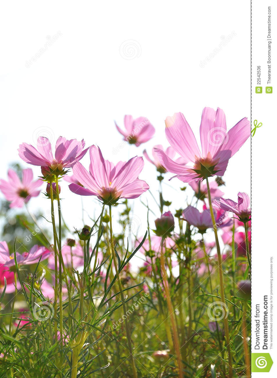 Colorful Daisies In Grass Field Royalty Free Stock Image ...