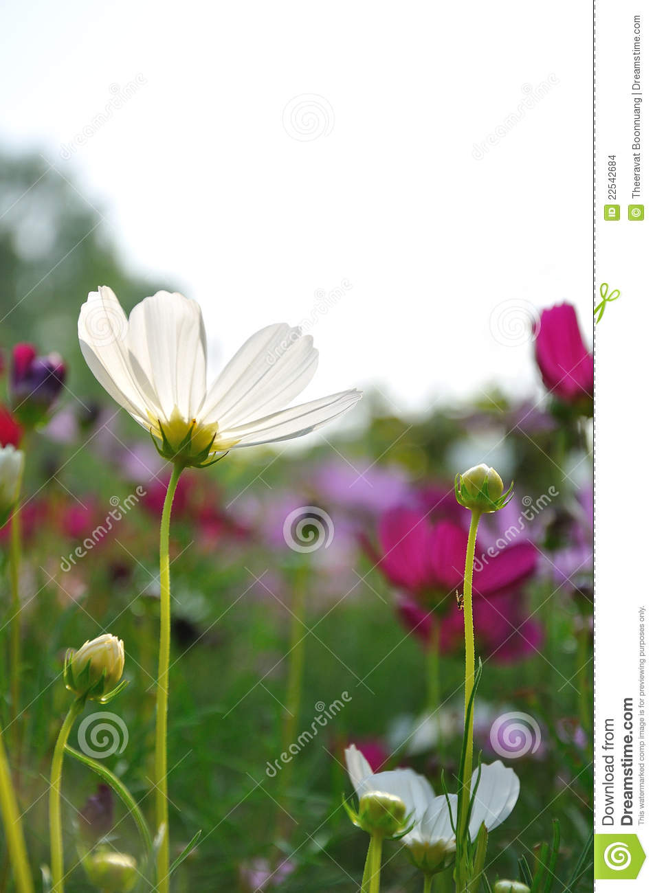 Colorful Daisies In Grass Field Stock Images - Image: 22542684