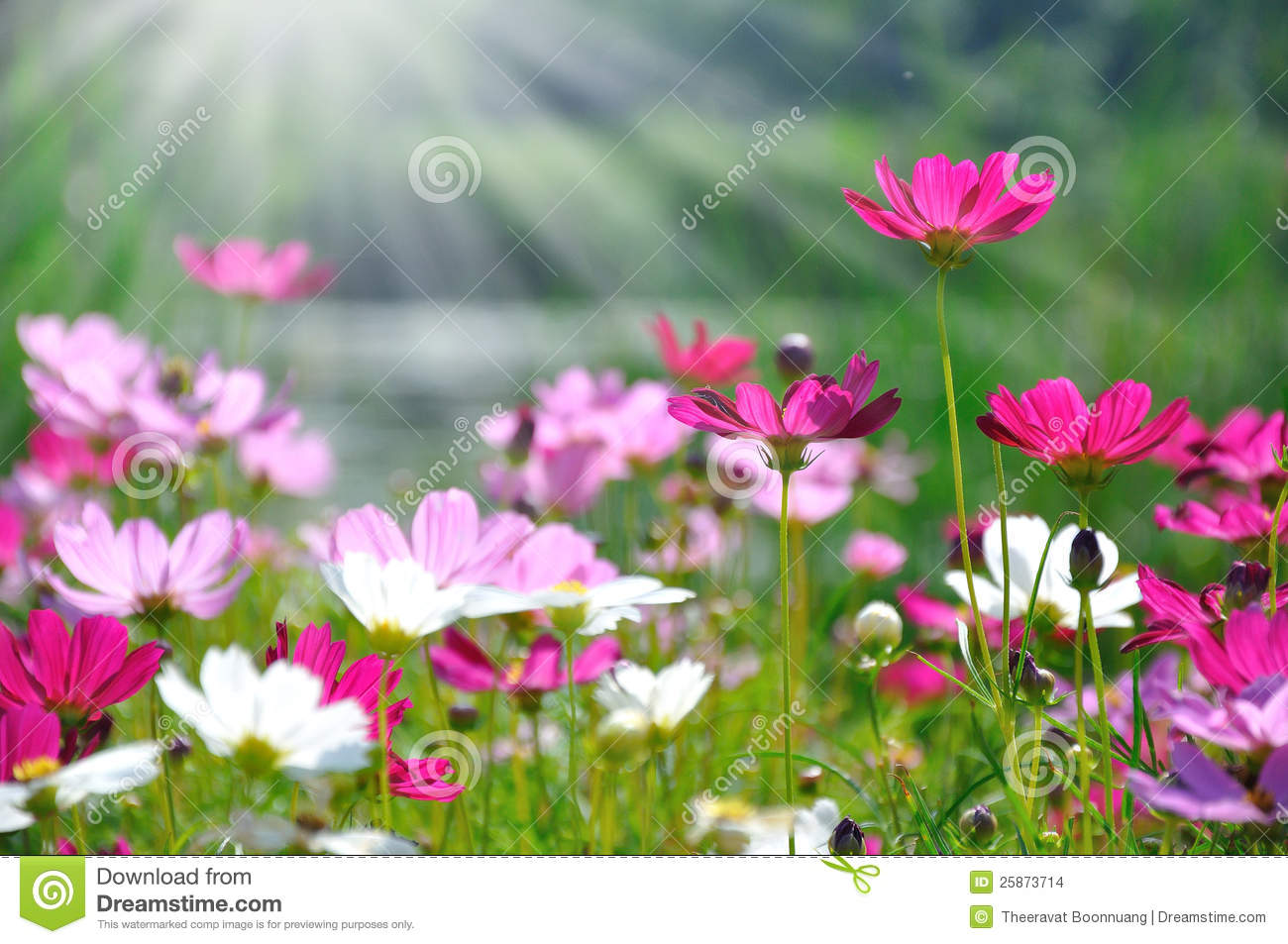 Colorful Daisies In Grass Field Stock Images - Image: 25873714