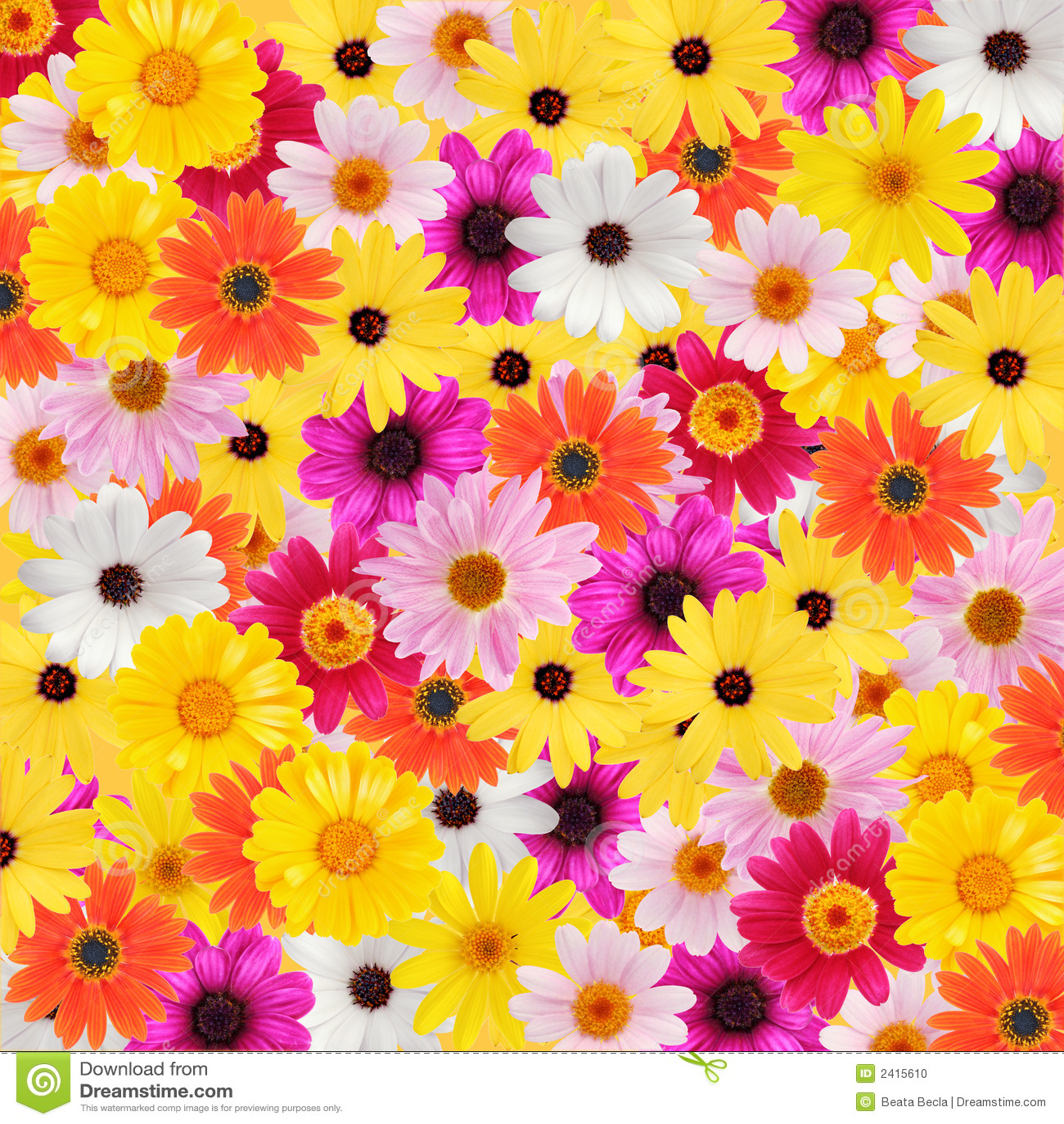 Colorful Daisy Background Stock Photo. Image Of Purple
