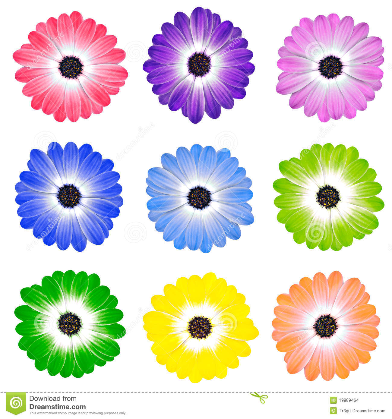 Colorful Daisy Flowers Isolated On White Stock Photo Image Of