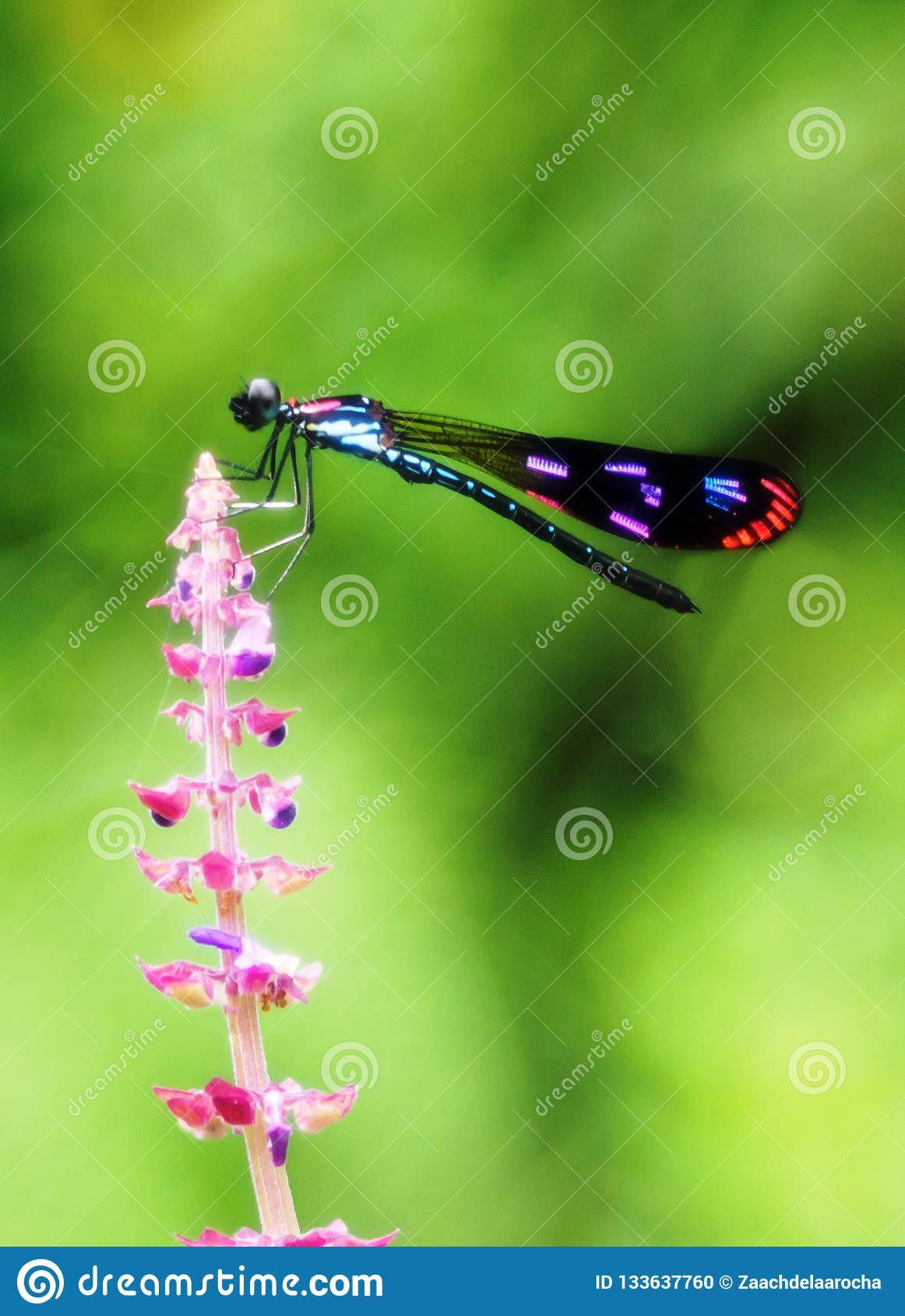A colorful damselfly on pinkish flower