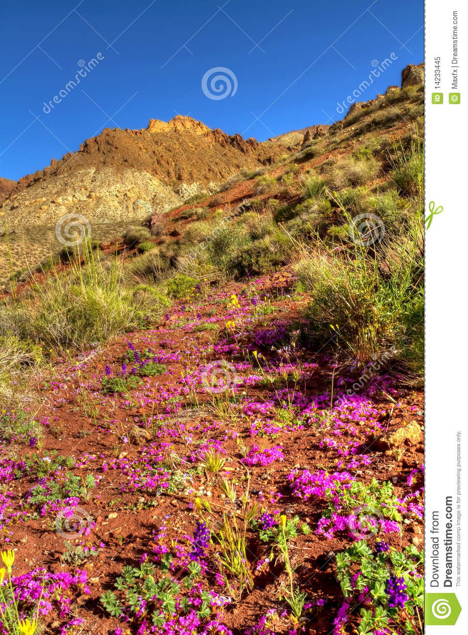 Colorful Desert Flowers Blooming In Death Valley Stock Image Image
