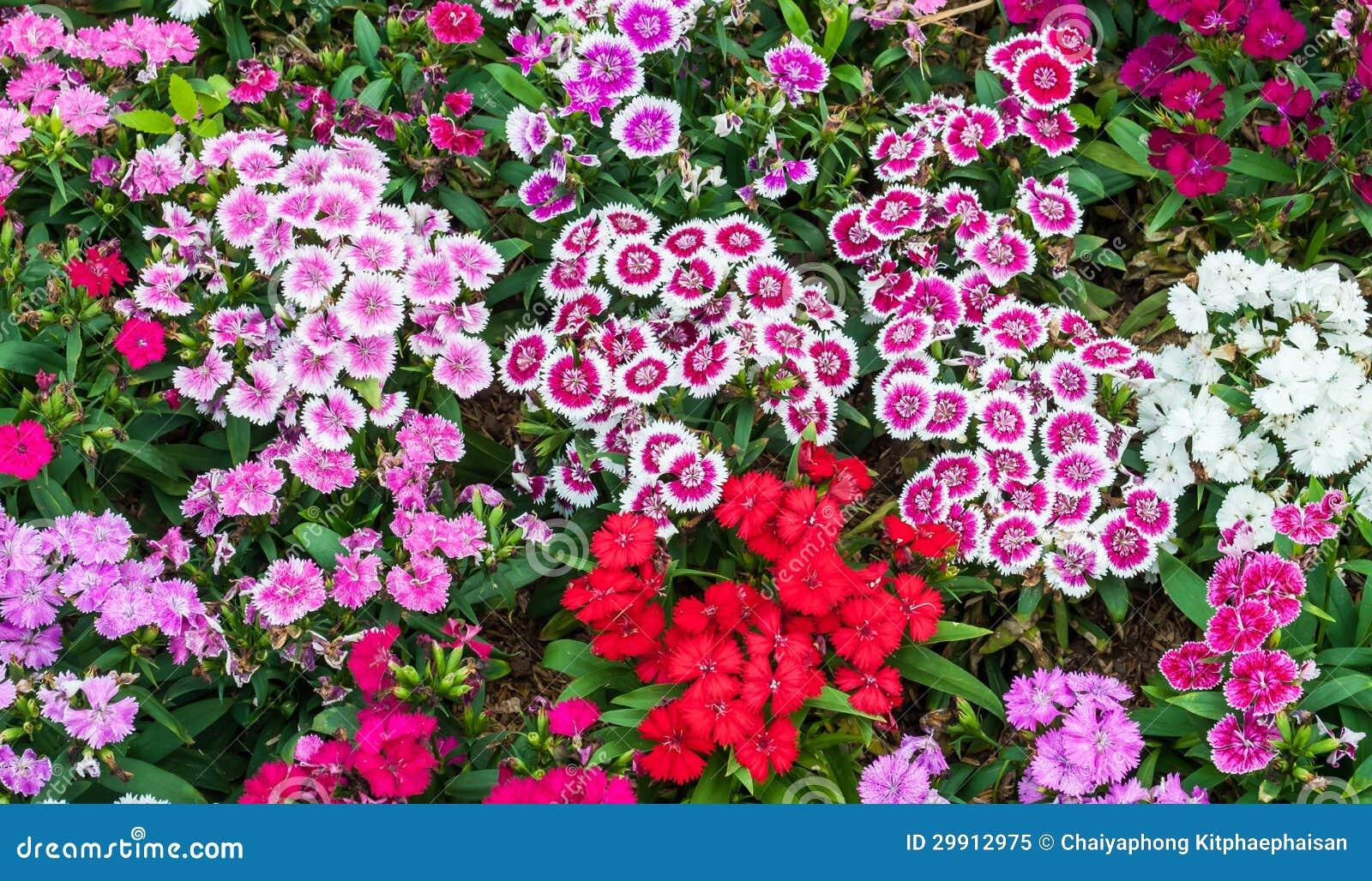 Dianthus Flower Royalty Free Stock Photo - Image: 29912975